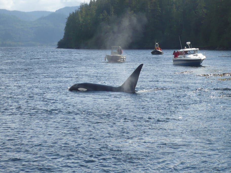 Orcas, grey and humpback whales frequent the Tofino area!