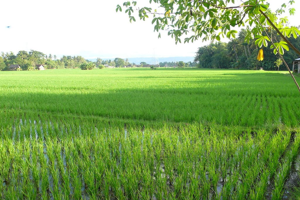 View to the rice field beside the bungalow
