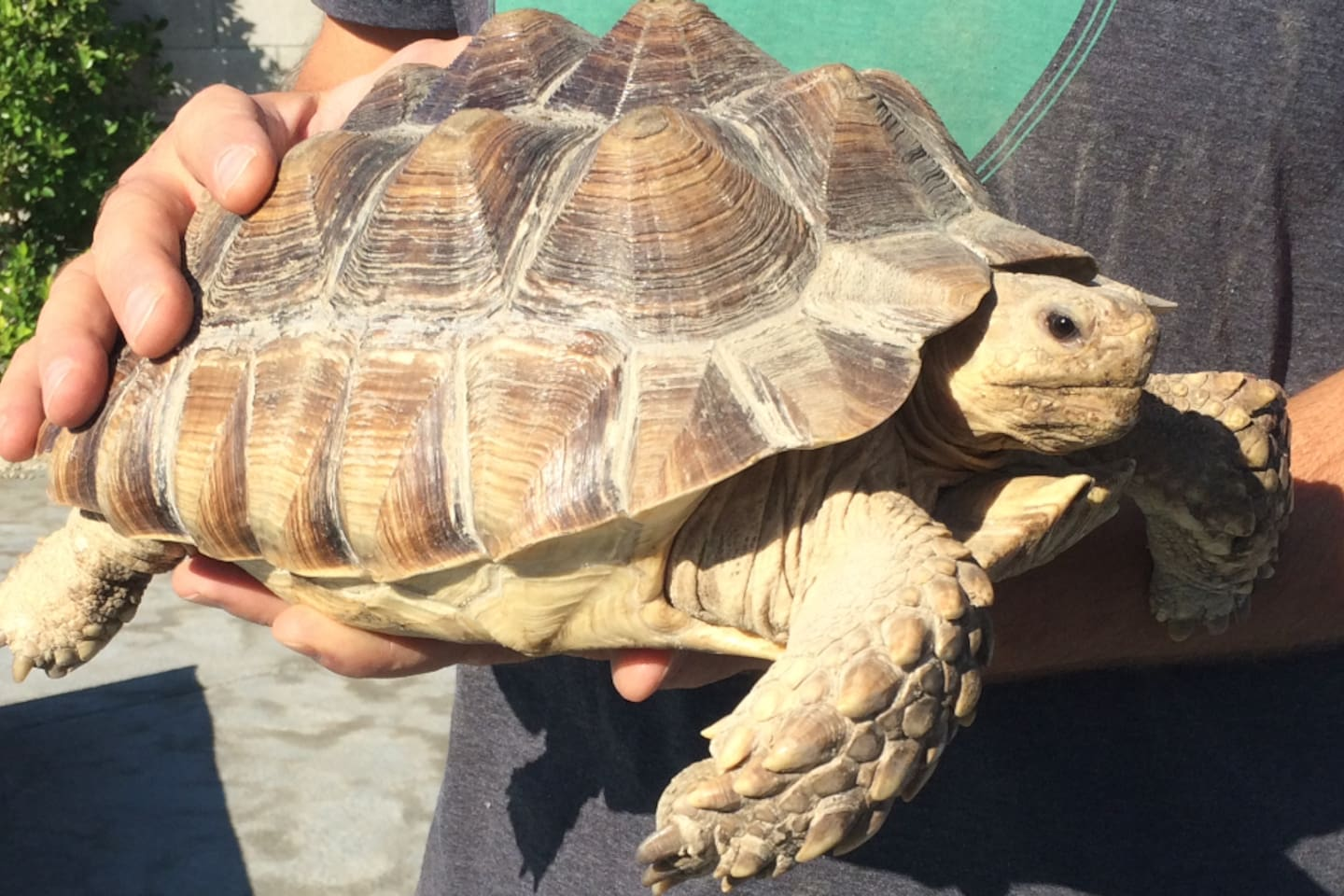 "This is ""Sunny"" our Spur-Thighed Desert Tortoise (Sulcata). He has run of the backyard and can occasionally be seen sunning and feeding during daylight hours..."