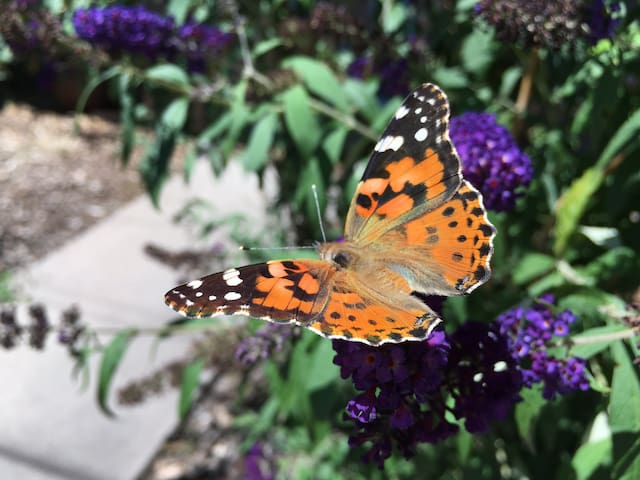 "A lovely Painted Lady (photographed just out Apt. 2's front door,)  as well ad seasonal migratory Monarch butterflies, and many other varities, also enjoy their stay in our gardens.  Maybe we should rename Apt. 2 ""Mariposa!"""
