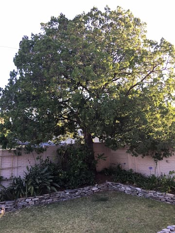 Front garden - Yellowwood tree