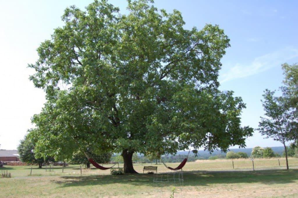 Notenboom met hangmatten