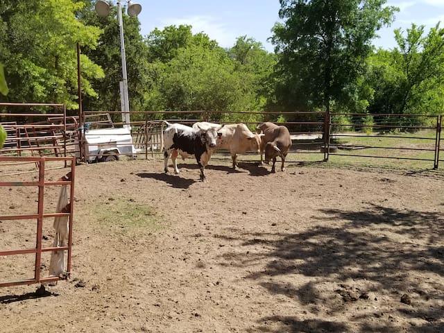 bulls in the arena