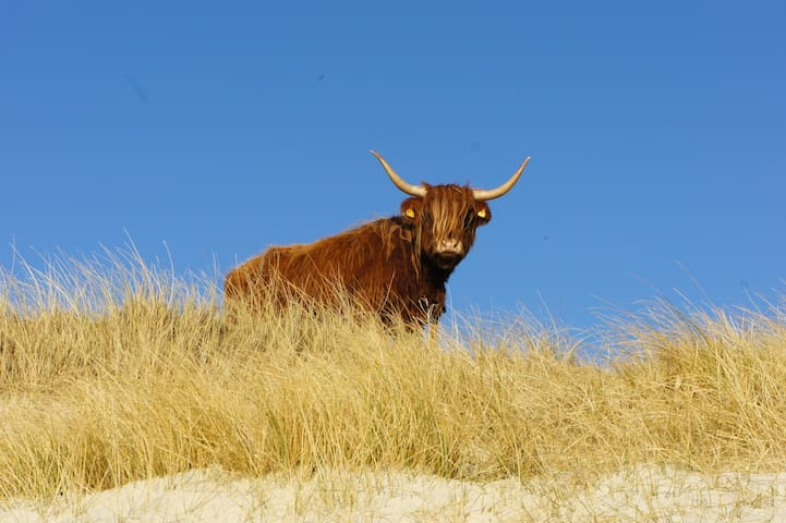 Highland cow in dunes