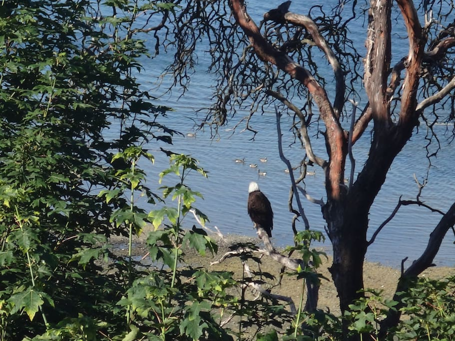 "View of ""our"" bald eagle from the deck."