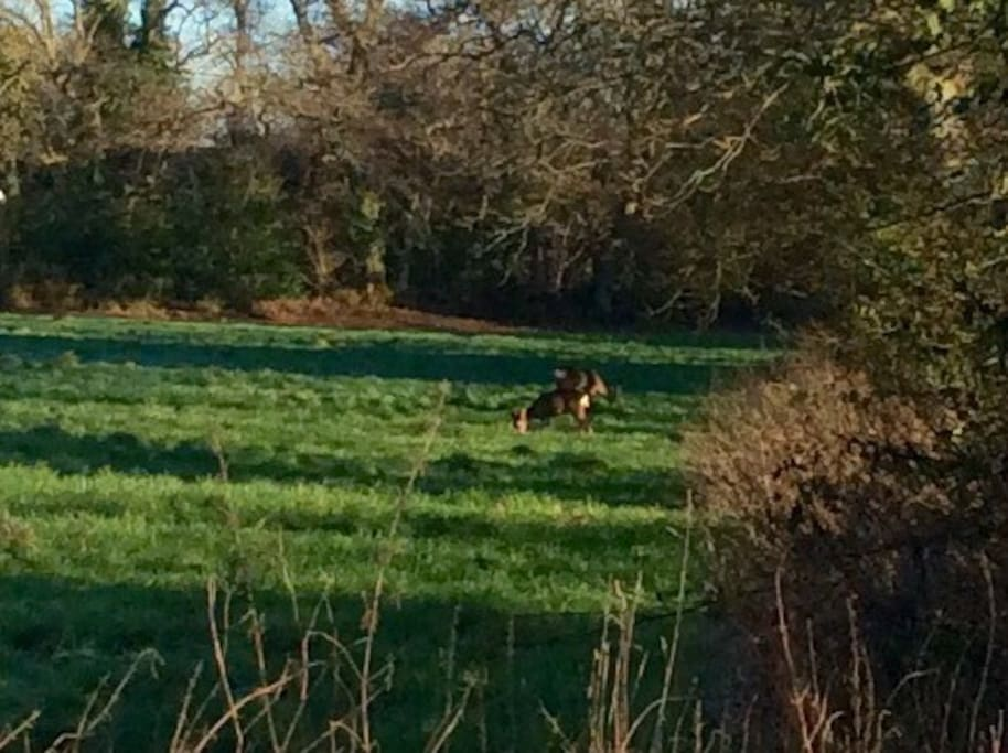 Roe deer in the field