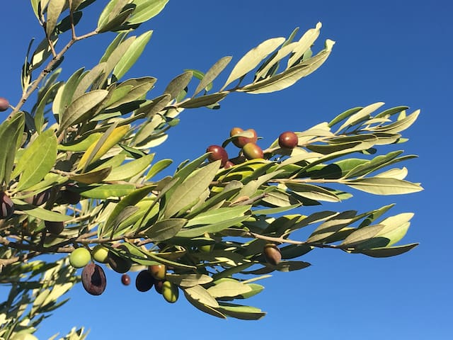 Enjoy a walk in our olive grove