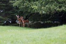 Deer stealing apples