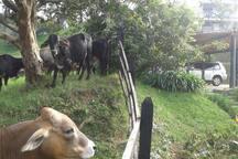 Parqueadero frente al ganado de mi vecino pastoreando.