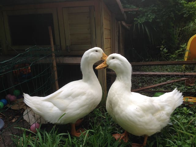 Chiclet and Skittle, house Ducks