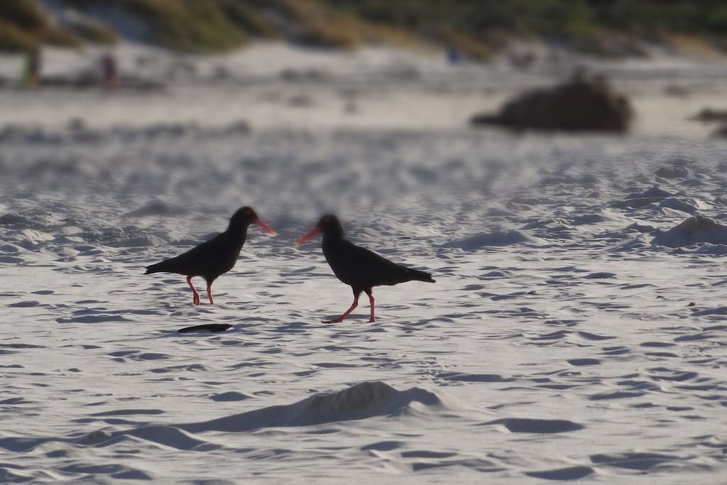Meet the resident Oyster Catchers - our pride and joy