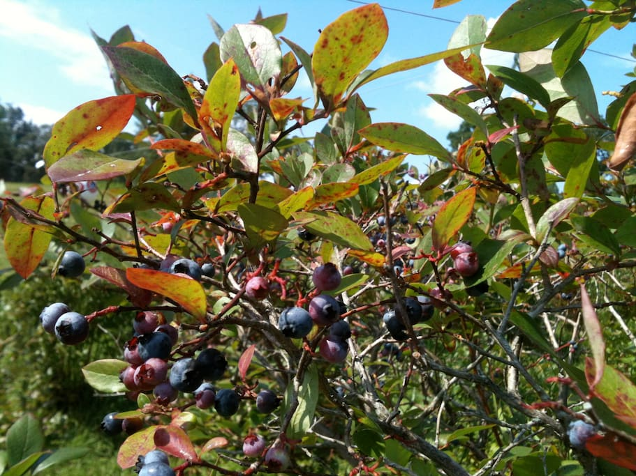 Blueberry picking at Winterbrook Farm(15 minute drive)