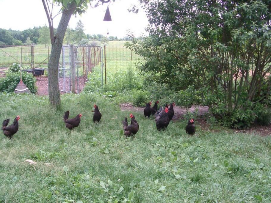 Free range organically fed chickens.