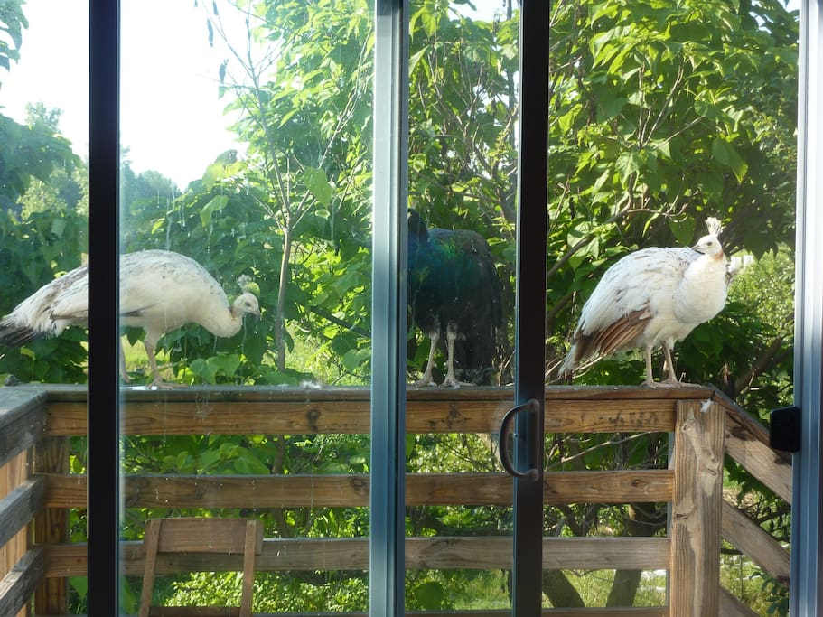 A view of the landing from inside, shows all 3 peafowl. Rani is also a white female.