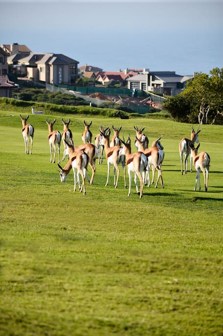 Wild life (Springboks) on the golf course and could end up in your yard