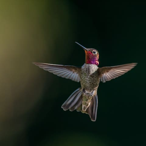 Tom Post also took this spectacular photo of one of the many male Anna Hummingbirds here.