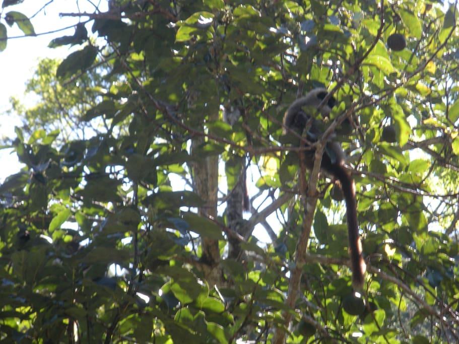 Capuchine Monkeys