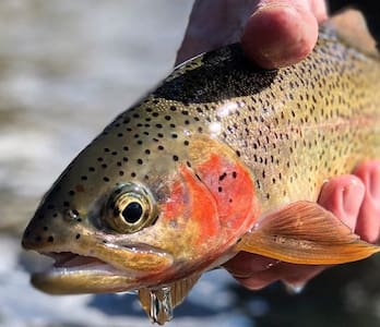 'Blue Ribbon Run' Trout fishery - Stillwater River