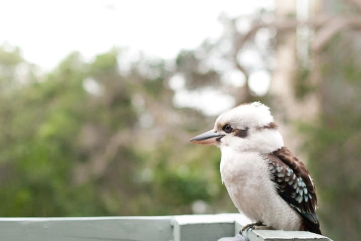 A local kookaburra sitting near the front door. #onlyinaustralia