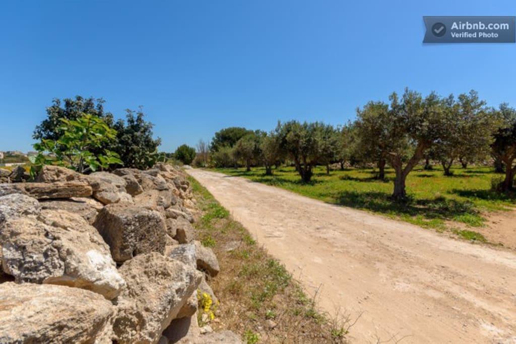 il viale di ulivi secolari e fichi che conduce alla nostra casa