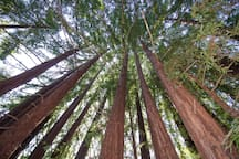 This is taken in the Redwood Grove that is just down a short trail from the cabin.