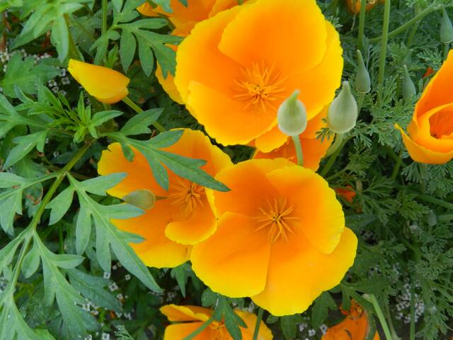 Some of the many flowers on the property.... these are California poppies.