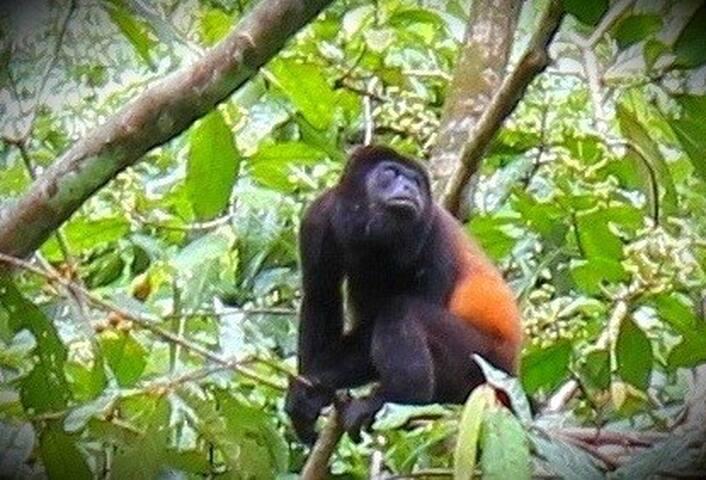 Mono Congo (hurler monkey)