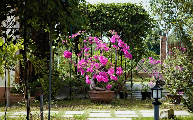 Pink bougainvillea fowers on the way to  the bungalows.