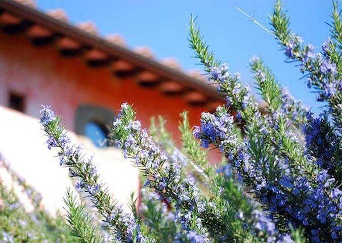 Il rosmarino fiorito - rosemary erbs blooming