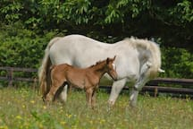 Irish draught mare and foal at Mount Briscoe