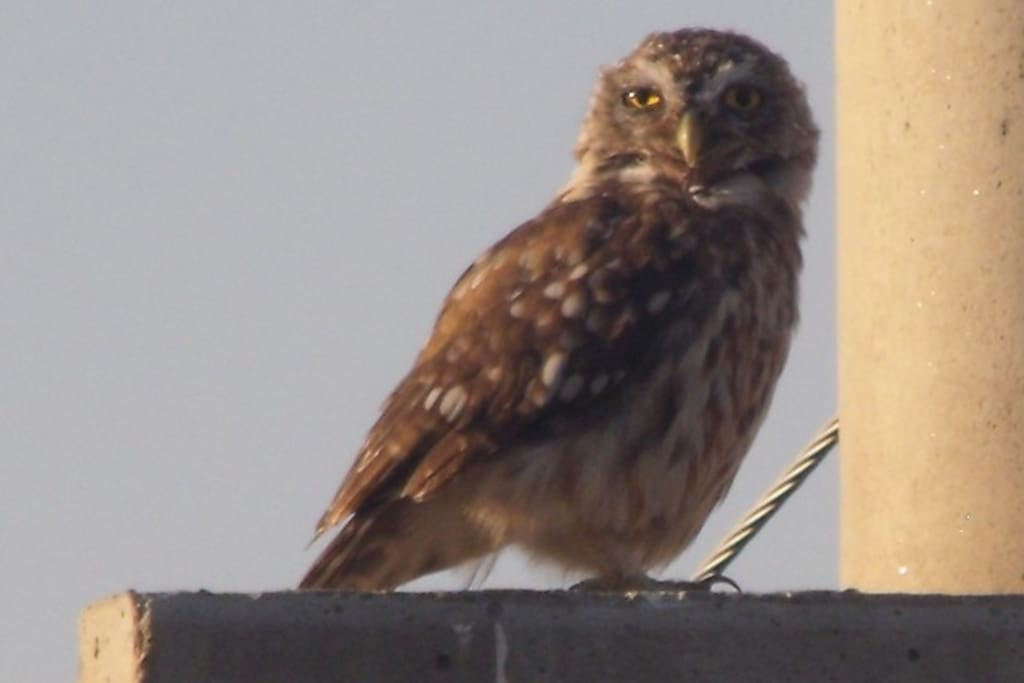 Our Little Owl. The photo was taken from our balcony. Note the talons! Its scientific name is Athene Noctua.
