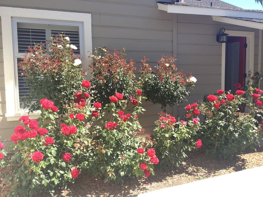 Beautiful rose garden.