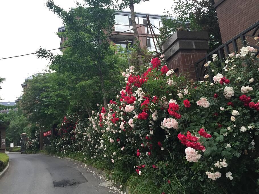 Garden 路边的玫瑰花