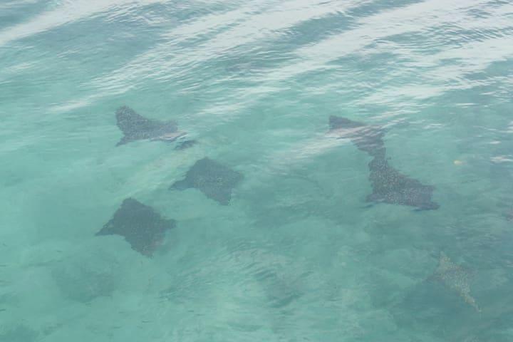 manta ray from Santa Catalina Bridge