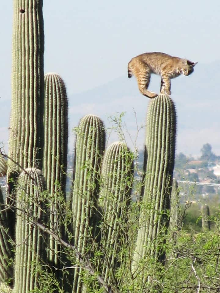 Many animals make saguaros their home