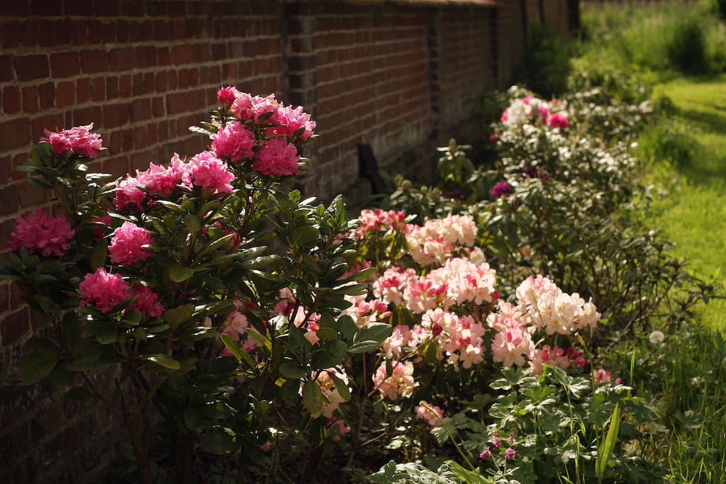 Les rhododendrons multicolor