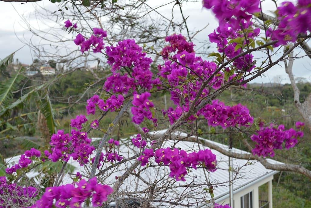 Beautiful bougainvillea blooms