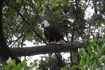 Say hello to our resident bald eagle, Edward Eagle!