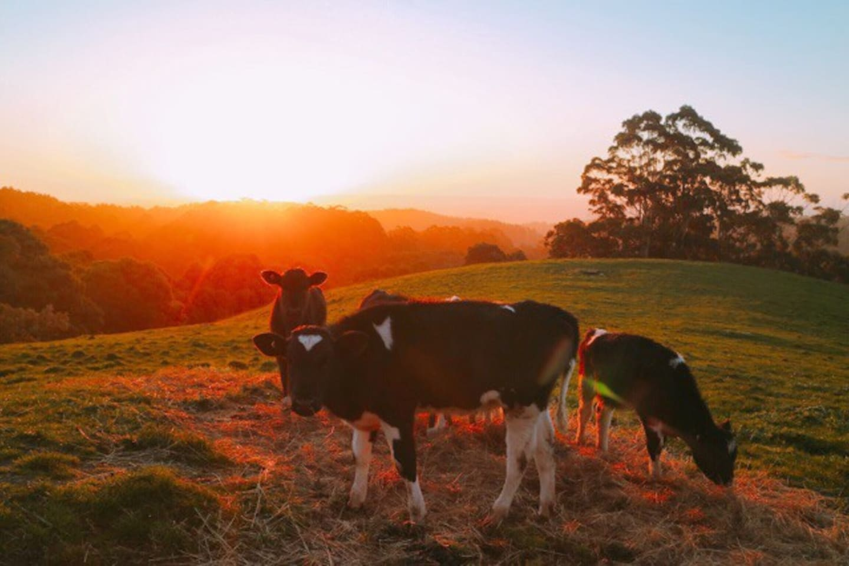 Cows on our farm