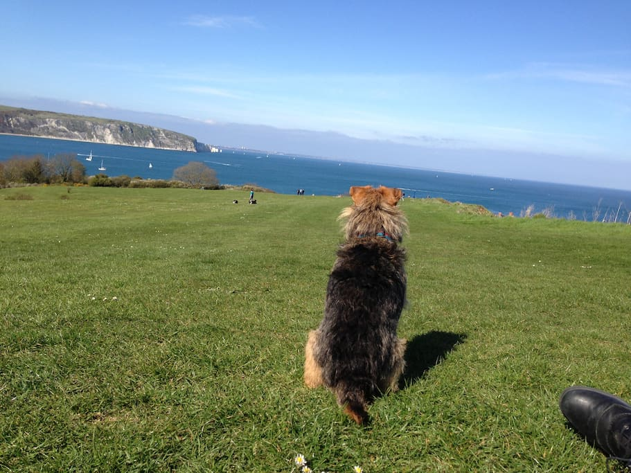 Monty enjoying the view over Swanage Bay