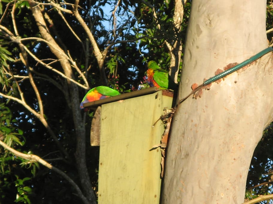 Parrots checking out the nesting box in the front garden for Spring.