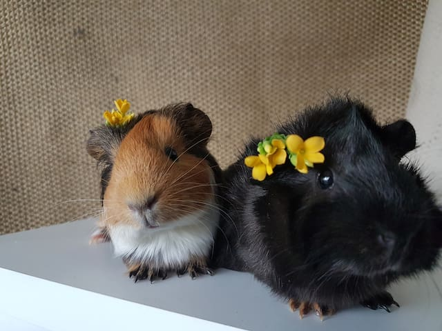 Two cute guinea pigs live in a cage in the living room. They are allergy friendly, quiet and they don't bite :)