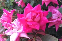 Collection of English roses, in full bloom in May and June.