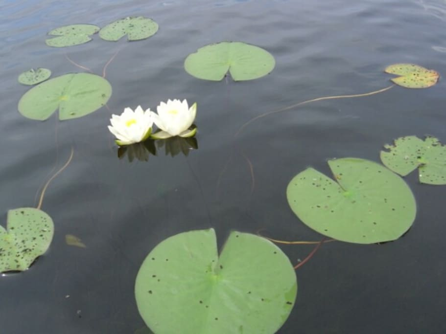Lily Pads On The Lake.