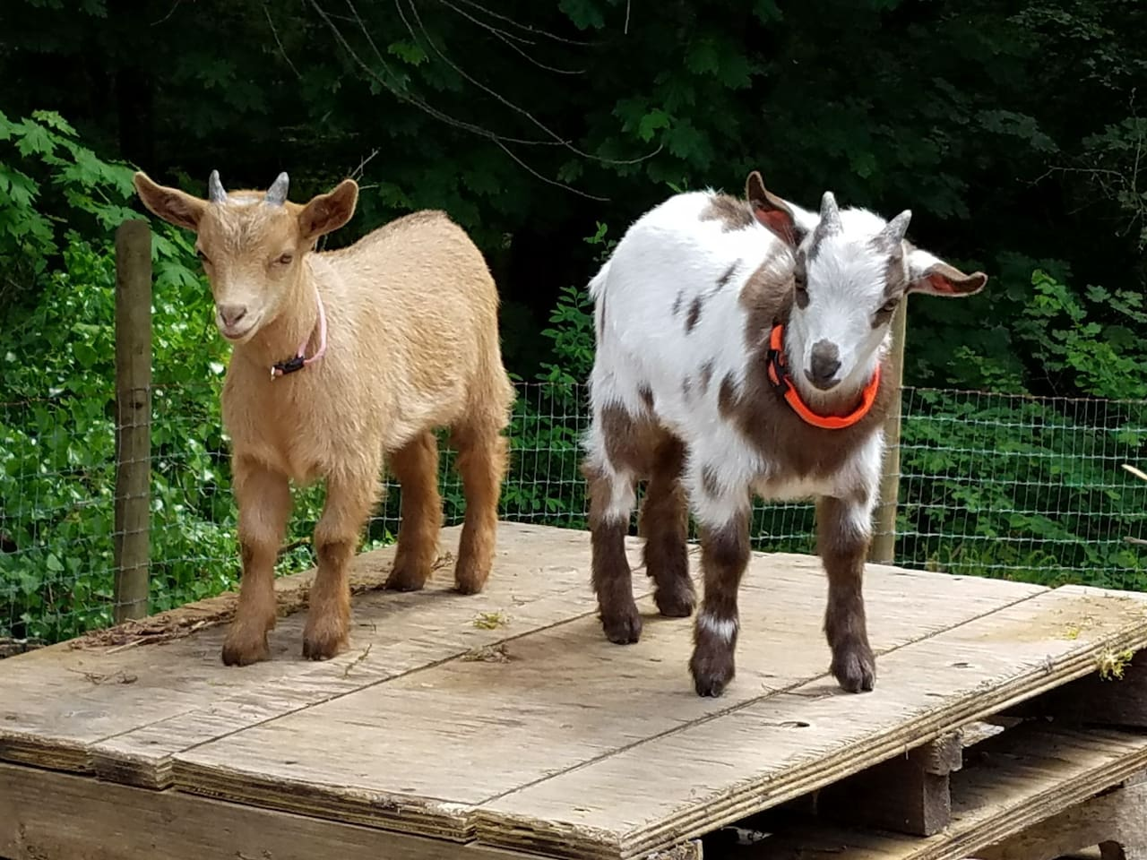 Mac & Dutch  Nigerian Dwarf goats born Spring 2018.  They are a bit bigger now, but they are still really adorable and fun.