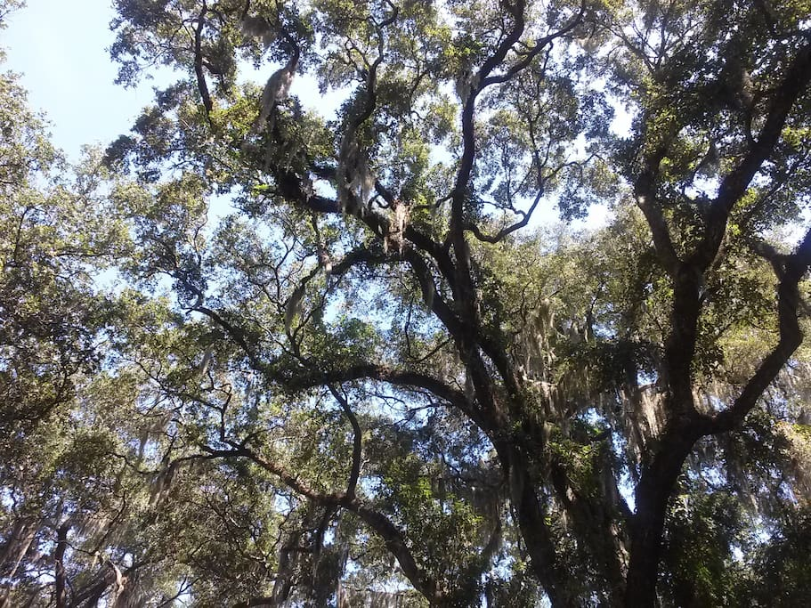 Beautiful Live Oaks in the backyard