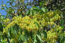 Ylang ylang tree perfumes the property at night