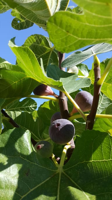 delicious figs, usually in September