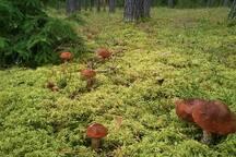 грибы (500 метров от турбазы)