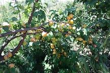 Apricot in garden